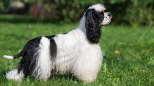 Собака породы Американский кокер-спаниель фото 1