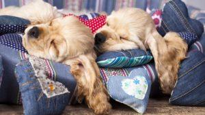 Собака породы Американский кокер-спаниель фото 8