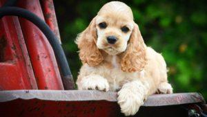 Собака породы Американский кокер-спаниель фото 9