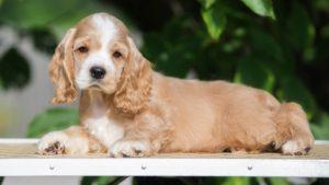 Собака породы Американский кокер-спаниель фото 3