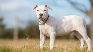 Собака породы Американский стаффордширский терьер фото 3