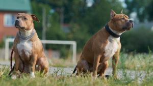 Собака породы Американский стаффордширский терьер фото 1