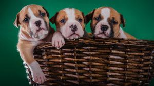 Собака породы Американский стаффордширский терьер фото 2