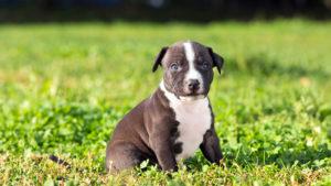 Собака породы Американский стаффордширский терьер фото 6