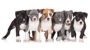 Собака породы Американский стаффордширский терьер фото 5