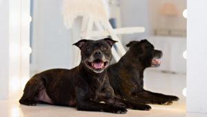 Собака породы Американский стаффордширский терьер фото 7