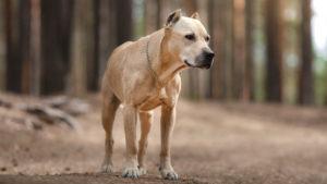 Собака породы Американский стаффордширский терьер фото 9
