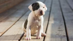 Собака породы Американский стаффордширский терьер фото 8