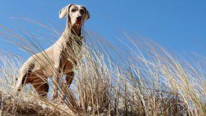 Собака породы Веймаранер фото 4