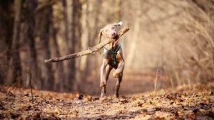 Собака породы Веймаранер фото 6