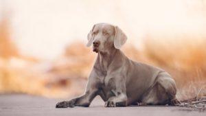 Собака породы Веймаранер фото 9