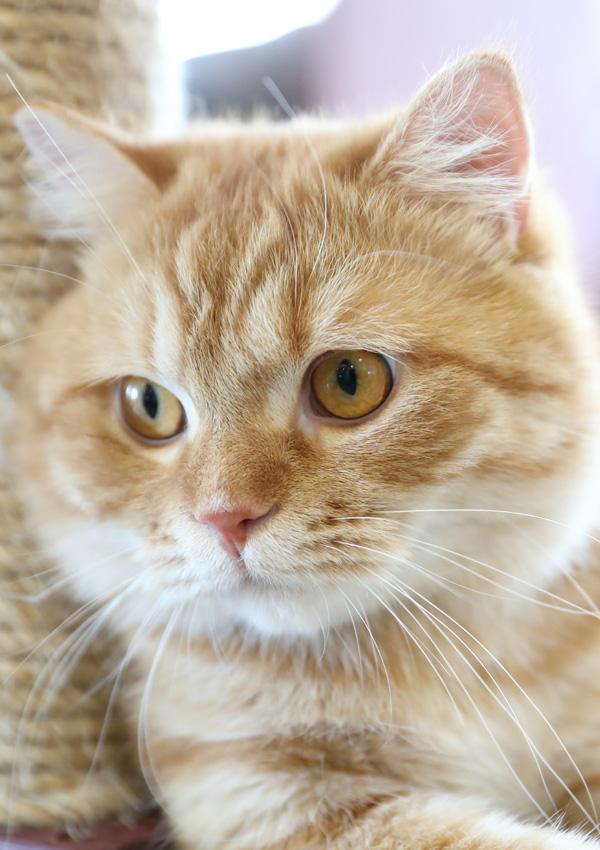 Рыже белая кошка