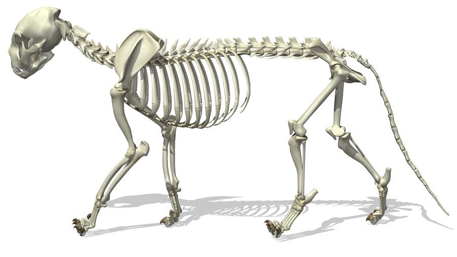 3D-рендеринг скелета кошки