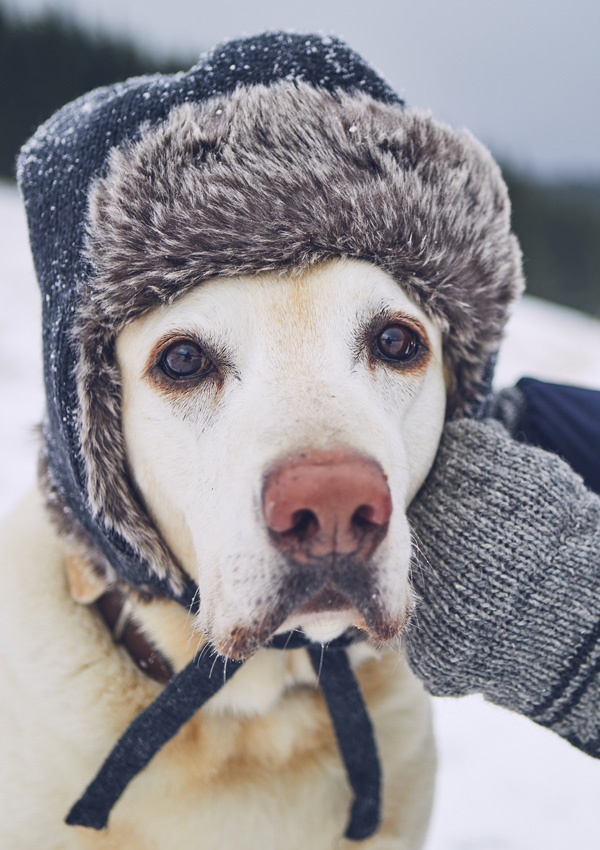 Лабрадор в шапке-ушанке