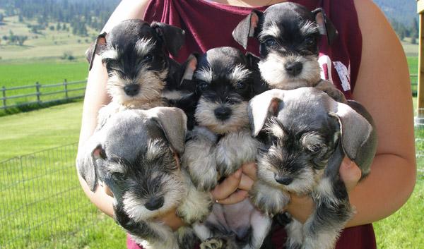 Породы собак с описанием и фото. - Страница 2 1450436078_miniature-schnauzer-foto-4