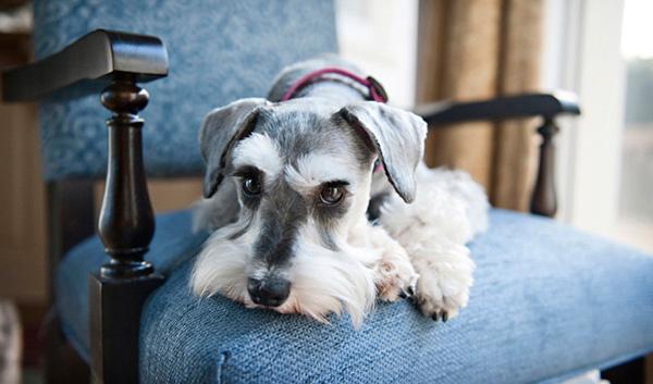 Породы собак с описанием и фото. - Страница 2 1450436079_miniature-schnauzer-foto-1