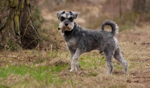 Породы собак с описанием и фото. - Страница 2 1450436093_miniature-schnauzer-foto-5