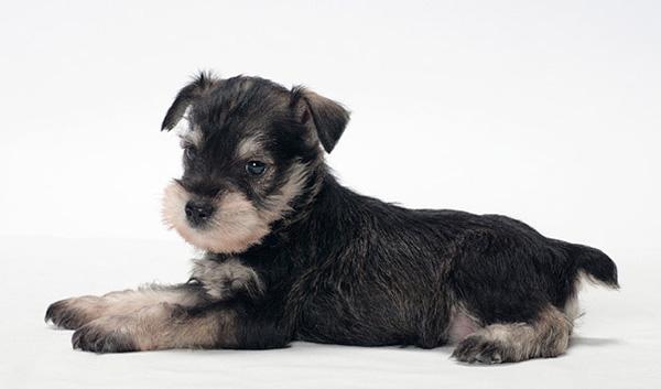 Породы собак с описанием и фото. - Страница 2 1450436132_miniature-schnauzer-foto-2