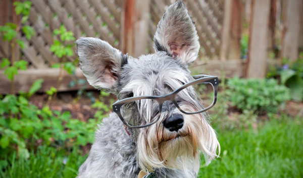 Породы собак с описанием и фото. - Страница 2 1450436156_miniature-schnauzer-foto-7