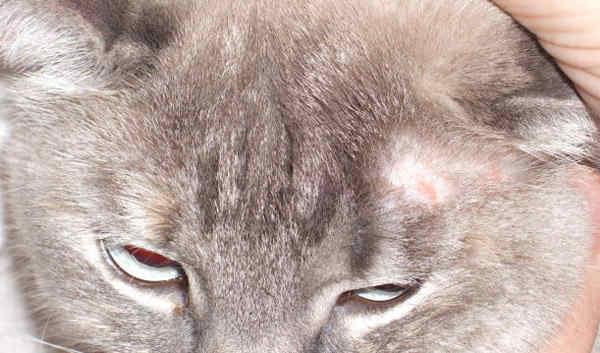 фото лишая у кошек признаки