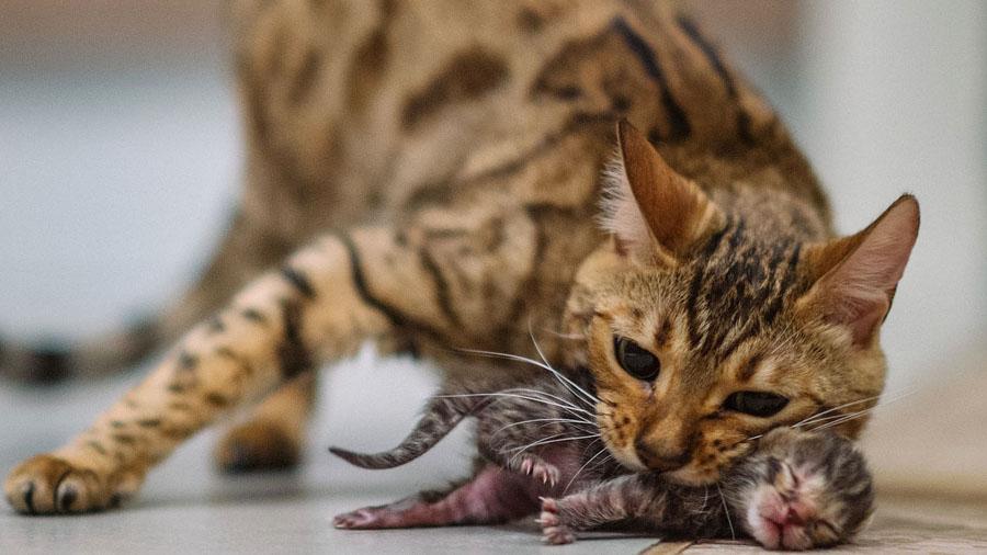 Когда появляется у кошки живот при беременности