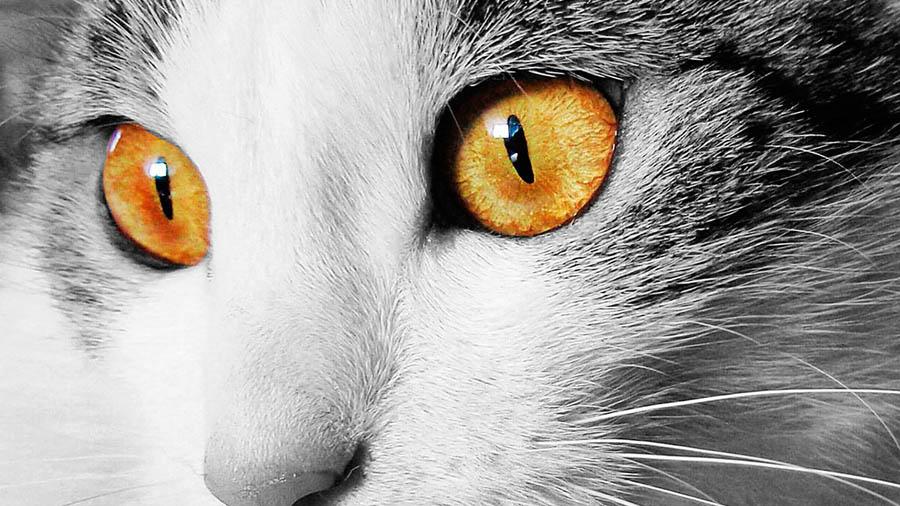 Блестит глаз у кота