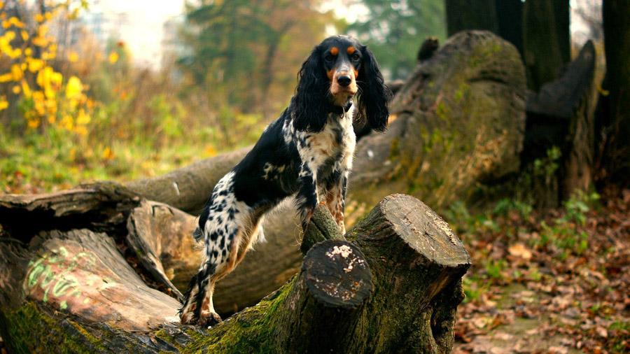 Породы собак с описанием и фото. - Страница 2 1471774012_russian_spaniel