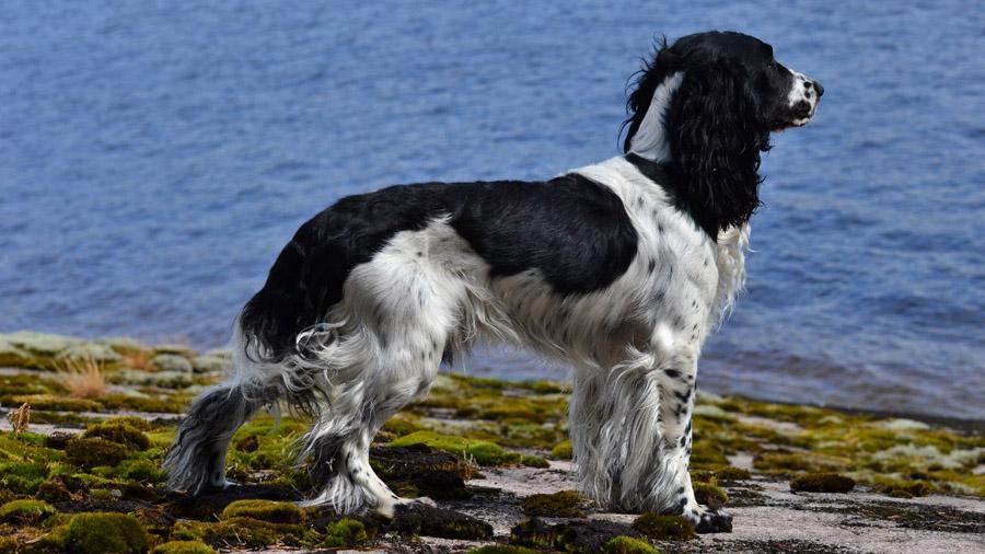 Породы собак с описанием и фото. - Страница 2 1471774154_russian_spaniel-1