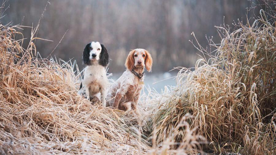 Породы собак с описанием и фото. - Страница 2 1471774190_russian_spaniel-3