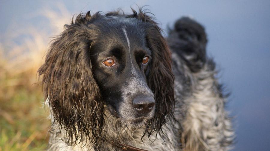 Породы собак с описанием и фото. - Страница 2 1471774253_russian_spaniel-15