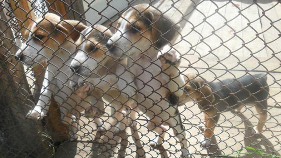 Породы собак с описанием и фото. - Страница 2 1473849894_russkaya-gonchaya-3