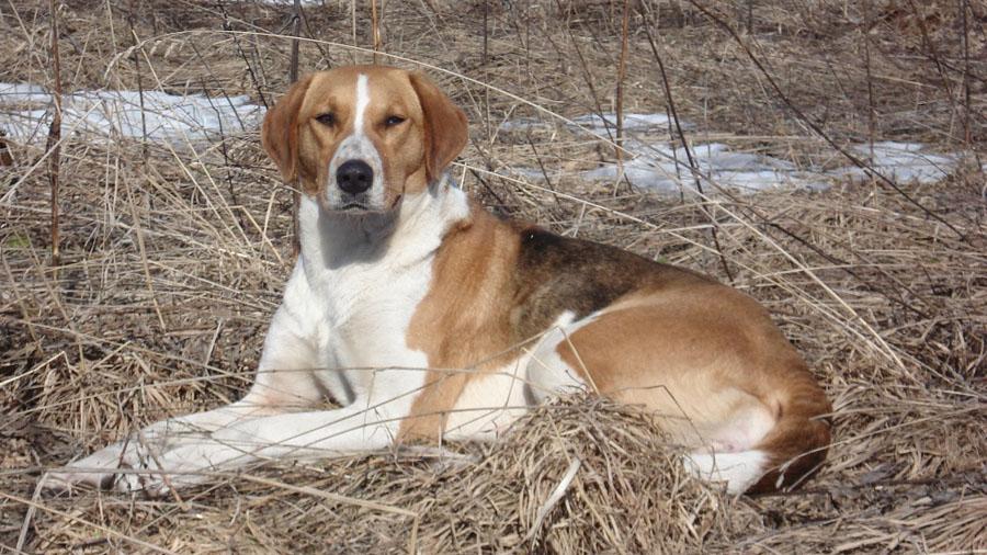 Породы собак с описанием и фото. - Страница 2 1473849905_russkaya-gonchaya-4