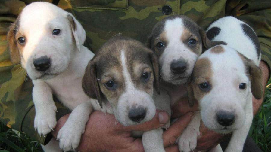 Породы собак с описанием и фото. - Страница 2 1473849917_russkaya-gonchaya-2