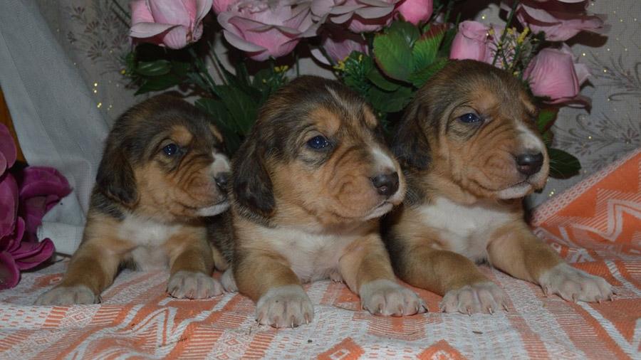 Породы собак с описанием и фото. - Страница 2 1473849935_russkaya-gonchaya-6