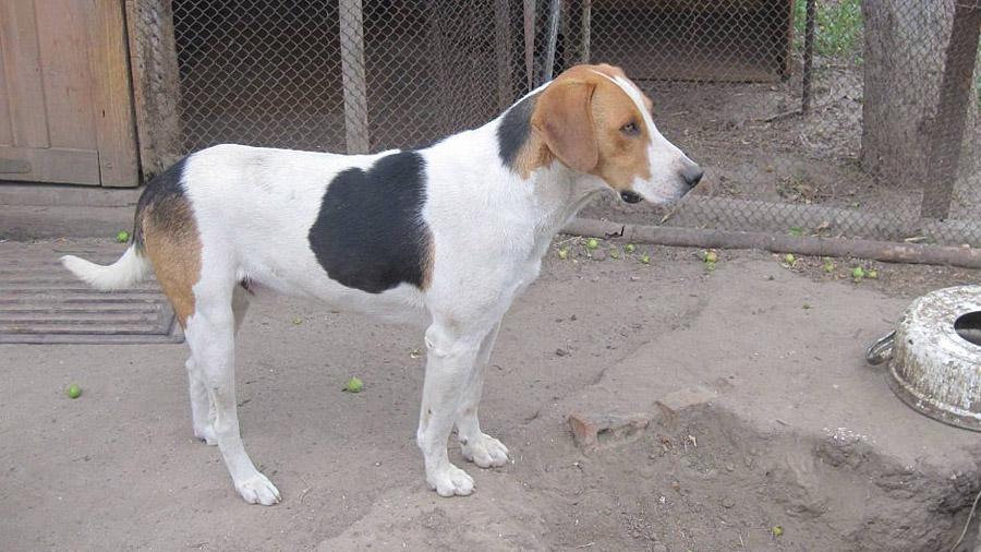 Породы собак с описанием и фото. - Страница 2 1473849970_russkaya-gonchaya-5