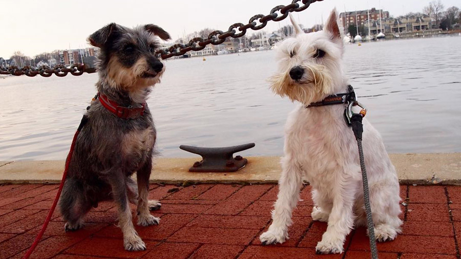 Самые умные породы собак 1474648666_schnauzers