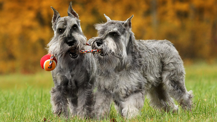 Породы собак с описанием и фото. - Страница 2 1474648812_schnauzer-2