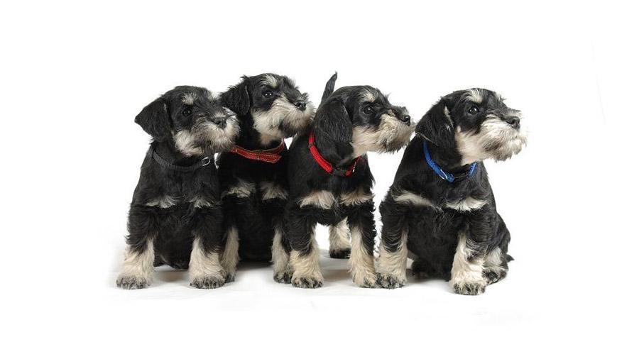 Породы собак с описанием и фото. - Страница 2 1474648834_schnauzer-6