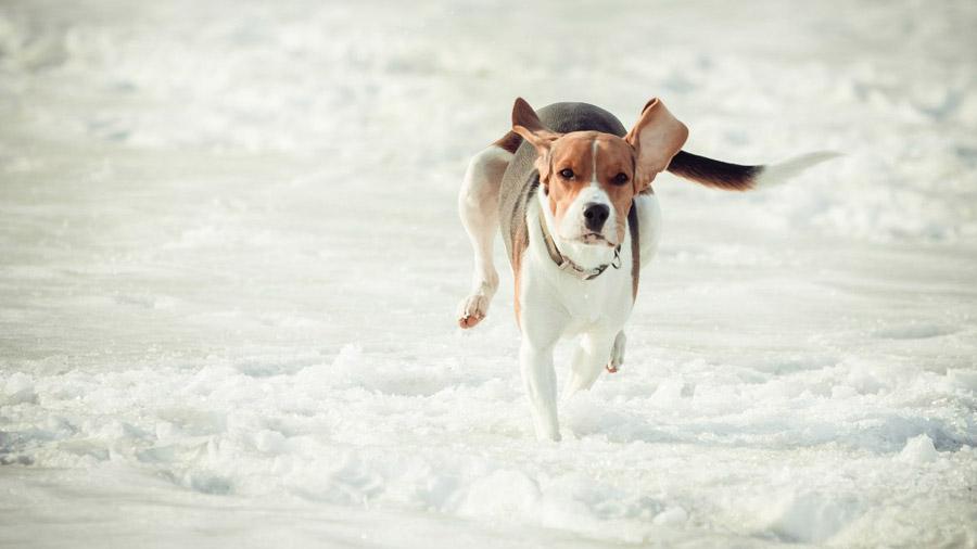 Породы собак с описанием и фото. - Страница 2 1477919802_estonian-hound-1