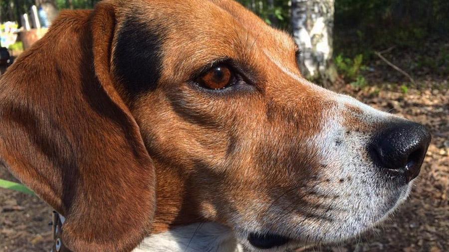 Породы собак с описанием и фото. - Страница 2 1477919823_estonian-hound-4
