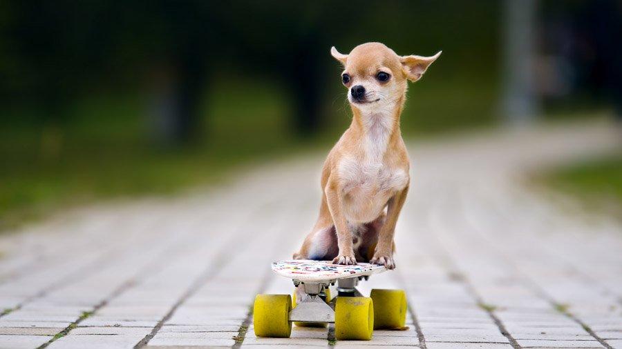 Породы собак с описанием и фото. - Страница 2 1480441078_chihuahua