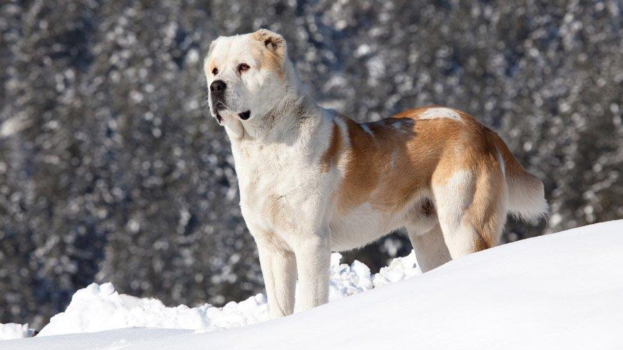 Бойцовские породы собак 1480444436_alabai