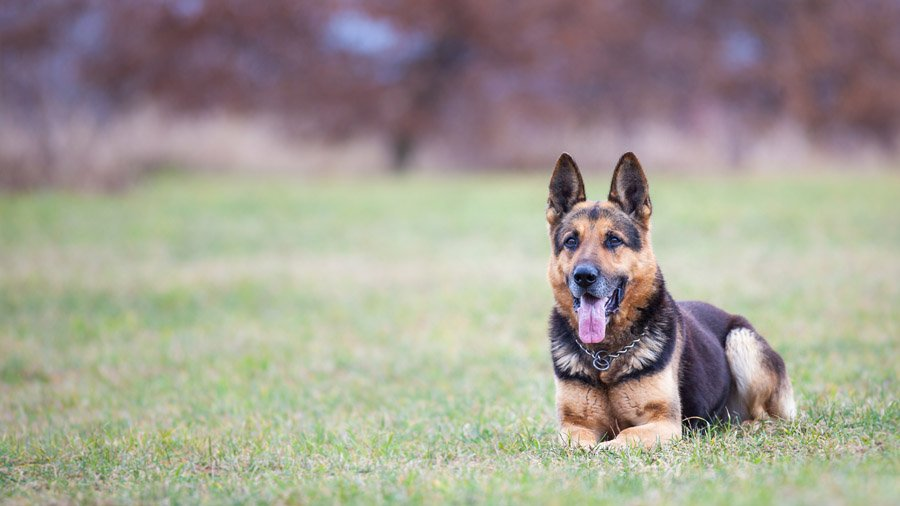 Самые умные породы собак 1480454218_german-shepherd-dog