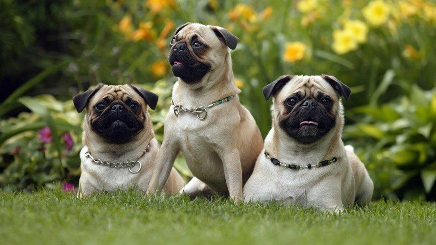 Породы собак с описанием и фото. - Страница 2 1480462125_pug