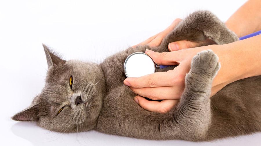 Запор у кота бывает от