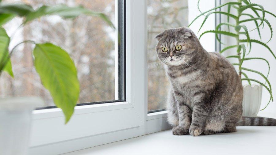 Шотландская вислоухая кошка: описание породы, фото, цена котят, отзывы