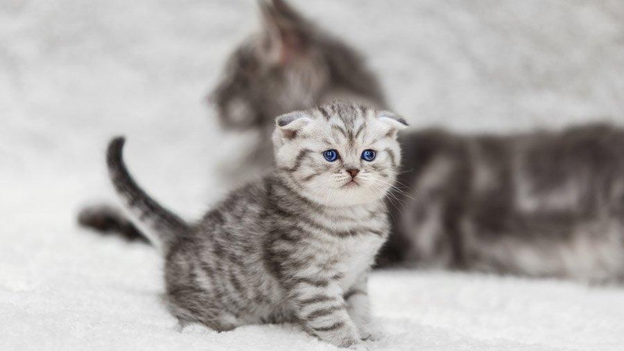 фото английская вислоухая кошка
