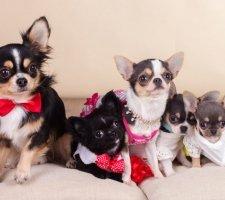 Породы собак с описанием и фото. - Страница 2 1480442681_chihuahua-photo-2