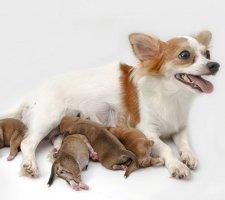 Породы собак с описанием и фото. - Страница 2 1480442691_chihuahua-photo-8