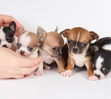 Породы собак с описанием и фото. - Страница 2 1480442697_chihuahua-photo-6